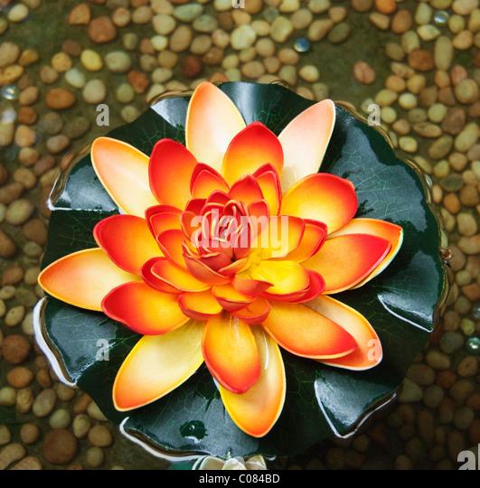 High angle view of a lotus flower, Tirupati, Andhra Pradesh, India - Stock Image