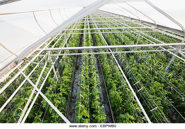 Plants growing in a row in greenhouse - Stock Image
