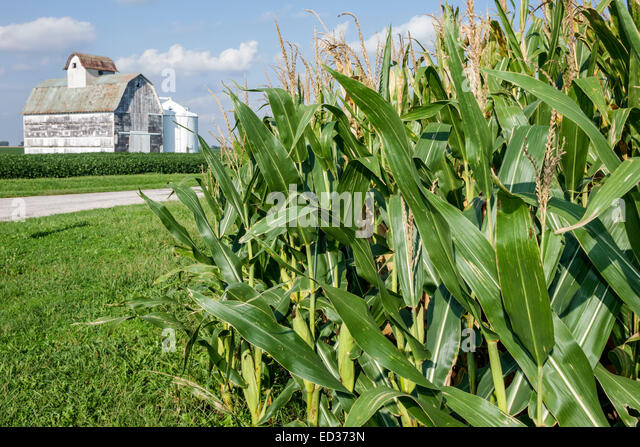 Illinois Tuscola corn crop barn rural agricultural agriculture farming farm - Stock Image