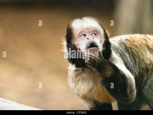 Tufted capuchin monkey (Sapajus apella) with cheeky expression. - Stock Image