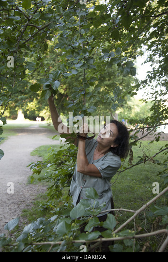 Woman picks wild mulberrys in Prospect Park, Brooklyn, New York. - Stock Image