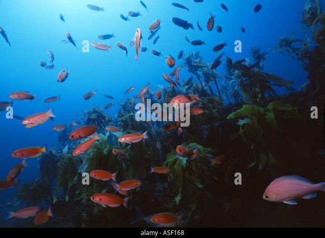 School of Splendid Perch swim over kelp forest on rocky reef Mayor Island New Zealand Depth 27 metres  - Stock Image