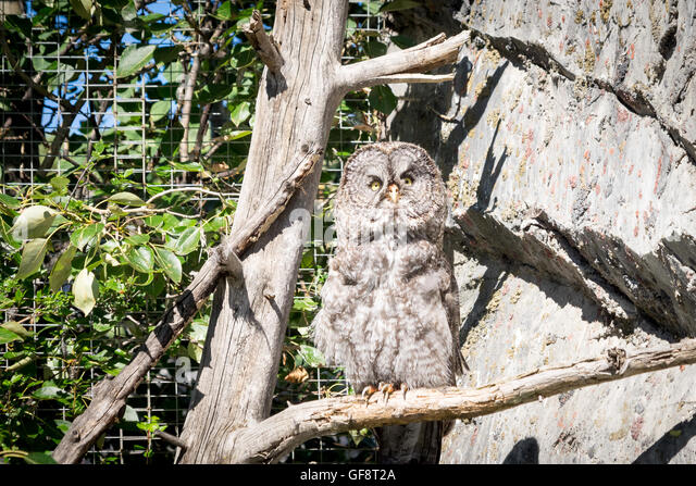 A great grey owl (Strix nebulosa) in captivity at Calgary Zoo in Calgary, Alberta, Canada. - Stock Image