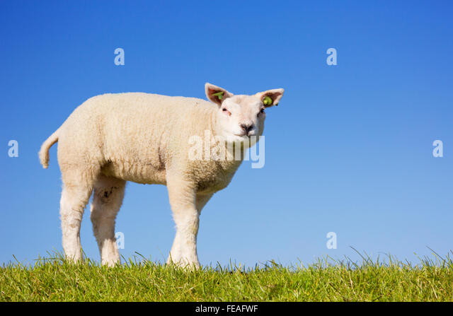 A cute little Texel lamb in the grass on the island of Texel in The Netherlands on a sunny day. - Stock-Bilder