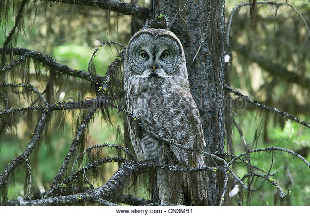 Great gray owl, Tongass National Forest, Alaska - Stock-Bilder
