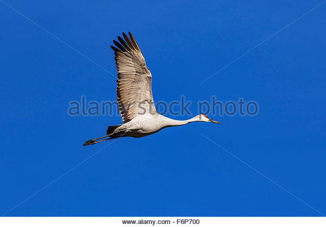 Sandhill Crane in flight - Stock Image