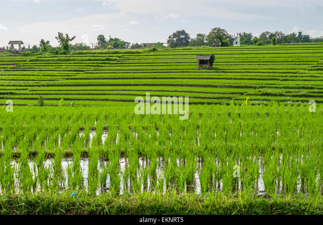 Rice field, Canggu, Bali, Indonesia - Stock Image