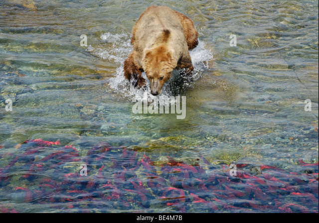 Brown bear (grizzly bear), Ursus arctos horribilis, lunging for sockeye salmon, Katmai National Park and Preserve - Stock Image