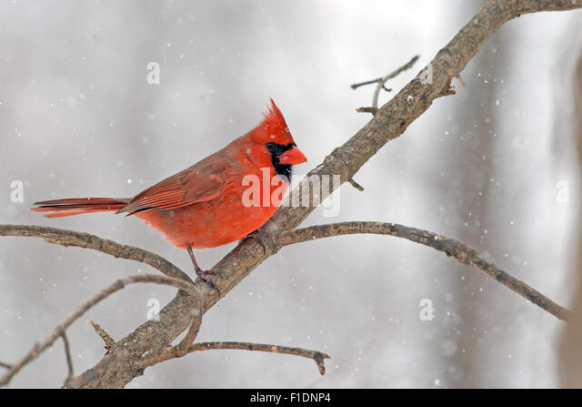 Male Northern Cardinal in the snow. - Stock-Bilder