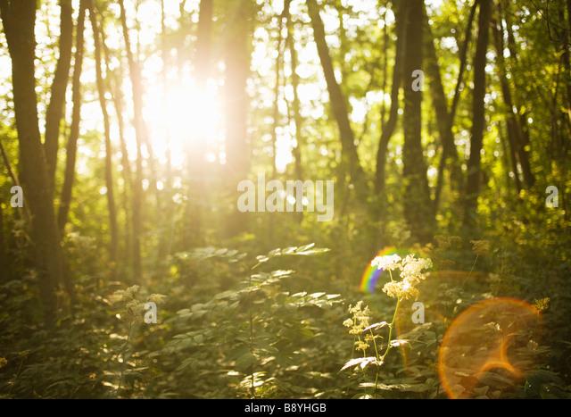 A forest lens flare Sweden. - Stock Image