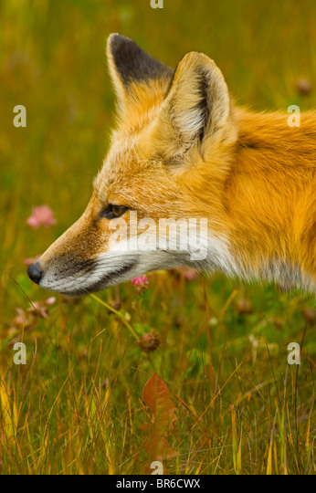 Curious Red Fox Face F...