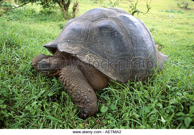 Ecuador Galapagos Islands Santa Cruz Island Steve Devine's Butterfly Ranch Giant Tortoise highlands - Stock Image