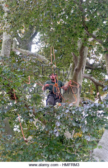 Tree surgeon wearing safety harness pruning copper beech tree branch - Stock-Bilder