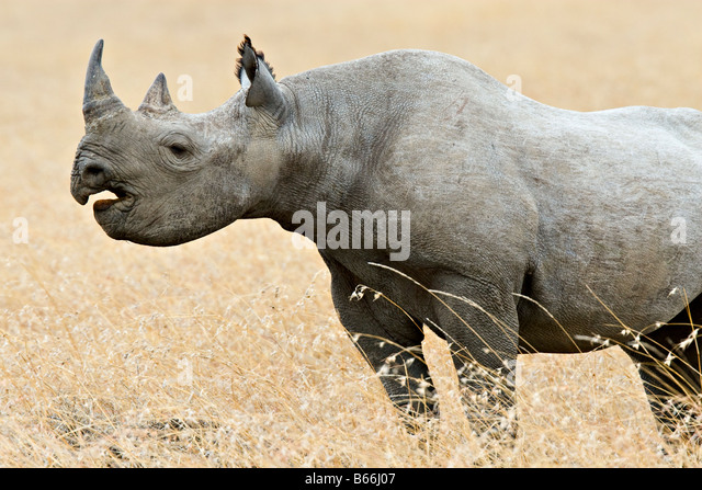 Black rhino (Diceros bicornis) in Serengeti National Park near Moru Kopje, Tanzania, Africa - Stock Image