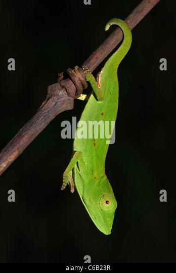 Female Short-nosed Chameleon (Calumma gastrotaenia) in the rainforest of Andasibe-Mantadia National Park, eastern - Stock-Bilder