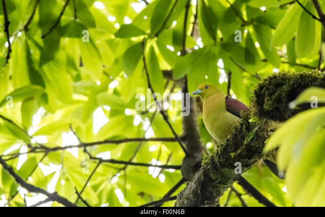 Wedged-tailed Green Pigeon perchedon a tree with copy space - Stock Image