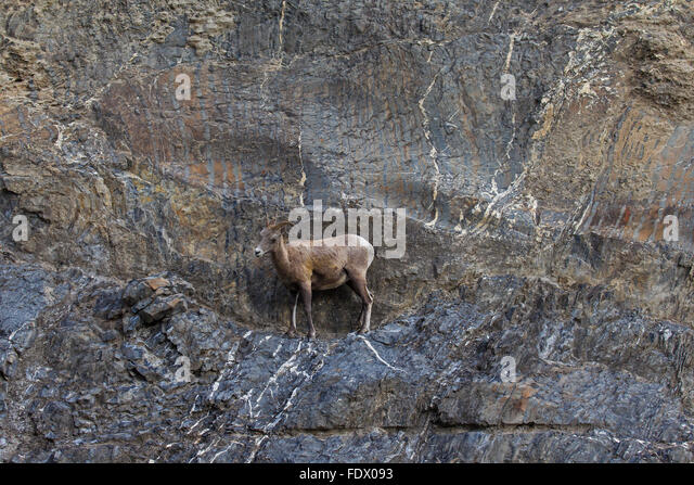 Bighorn sheep (Ovis canadensis) female on ledge traversing rock face, Jasper National Park, Alberta, Canada - Stock Image
