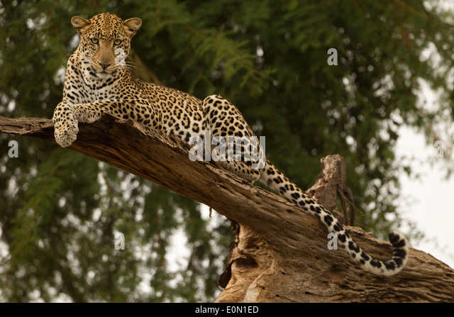 African Leopard lying in tree, Samburu Game Reserve, Kenya, Africa (Panthera pardus) - Stock-Bilder
