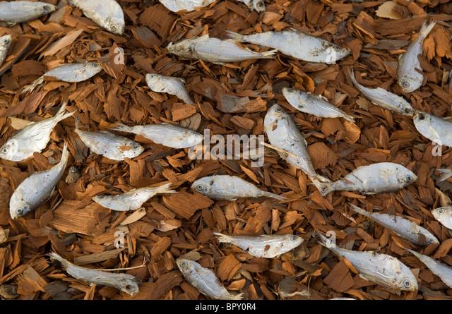 Fish drying, Ziguinchor, Casamance, Senegal - Stock Image