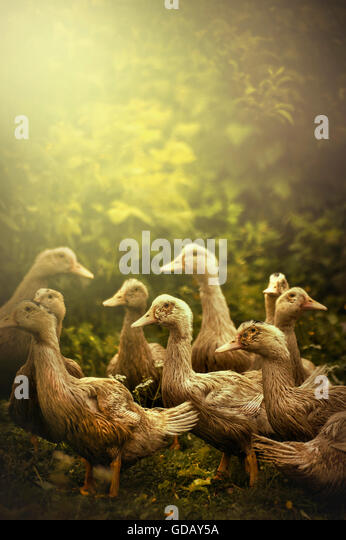 group of little ducks in nature - Stock Image