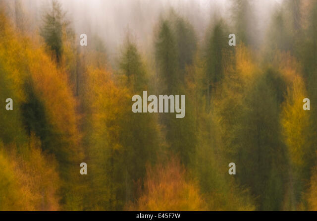 Soft focus on mixed woodland with Silver fir (Abies alba) Spruce (Picea excelsa) and European beeches (Fagus sylvatica) - Stock Image