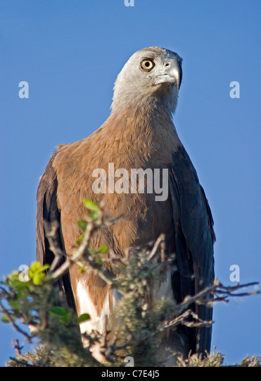 Grey headed fishing eagle ichthyophaga ichthyaetus Sri Lanka - Stock Image