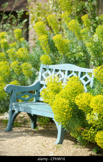 A garden bench with surrounded by Euphorbia wulfenii UK - Stock Image