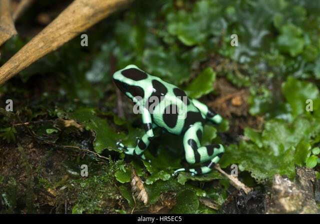 Poison dart frog bright green