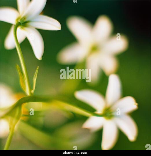 close-up color image defocused leaf nature outdoors plants spring square wood anemone - Stock-Bilder
