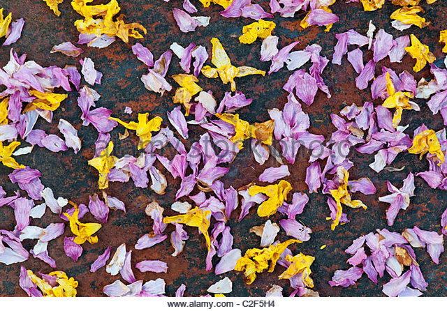 Dead daffodil and blossom flower petals on slate. - Stock Image