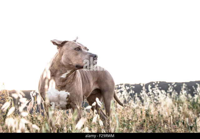 powerful Pitbull dog stands in tall dry grasses looking off in distance mountain ridge line background - Stock Image