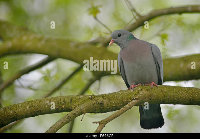 Stock Pigeon or Stock Dove (Columba oenas), Emsland, Lower Saxony, Germany - Stock Image
