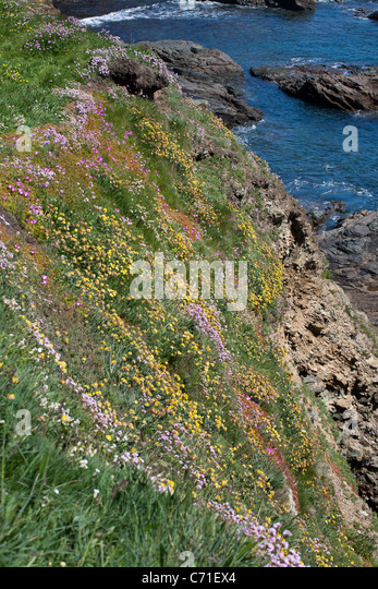 Lizard Wildflower cliff. A grassy cliff overflows with coloured flowers as it descends down to the rock - Stock Image
