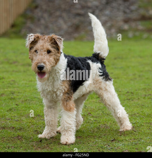 Wire Haired Terrier : Fox terrier stock photos images alamy