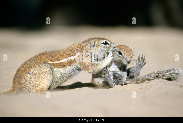 Cape Ground Squirrel (Xerus inauris), mother grooming sitting youngster - Stock Image