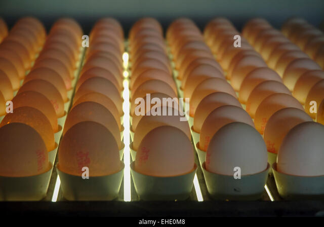 Easter eggs production egg screened germany europe - Stock Image