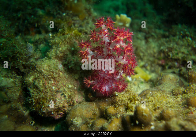 Magenta spiky soft coral, Dendronepthya sp. , from the South China Sea, Coral Triangle, Brunei. - Stock Image