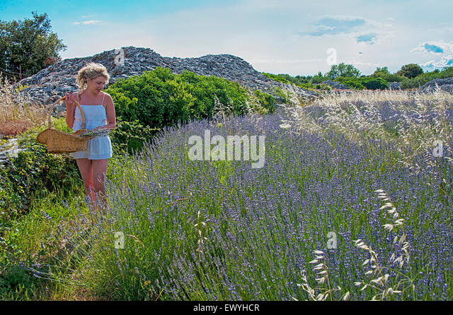 Woman picking lavender, Brac, Croatia - Stock Image