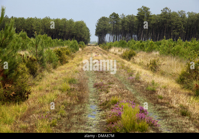 Surroundings of the city of Bordeaux: fire trail in a wood - Stock Image