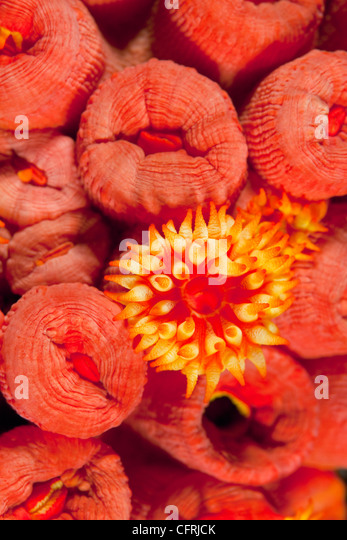 Polyp of Orange cup coral, Malpelo Island, National Park, Natural World Heritage Site, Colombia, East Pacific Ocean - Stock Image