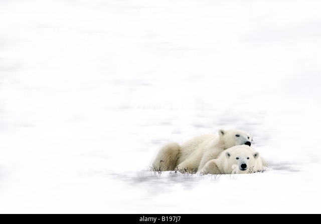 Two polar bears laying together - Stock Image