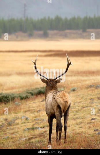 Bull Elk - Stock Image