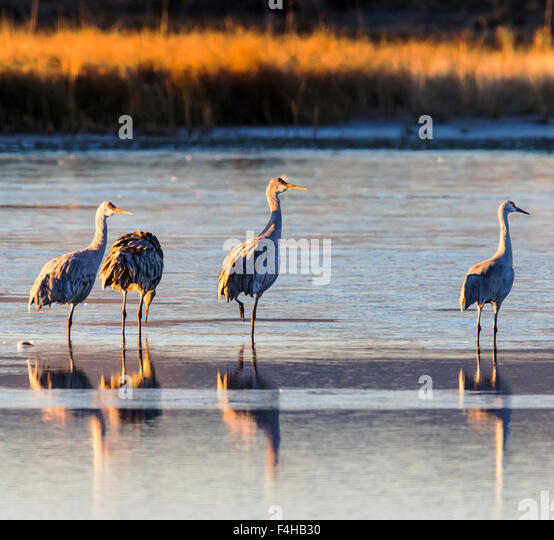Sandhill Cranes in pond at sunrise, Monte Vista National Wildlife Refuge, Colorado, USA - Stock-Bilder