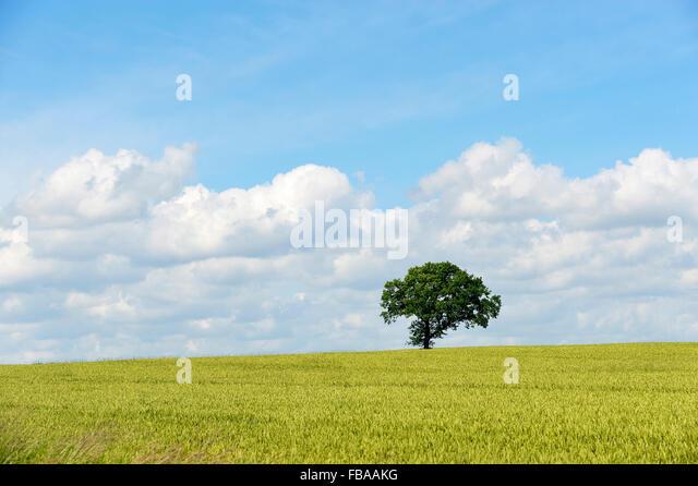 Denmark, Fyn, Single tree in field - Stock Image