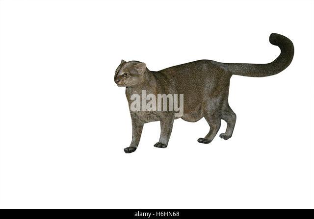 Jaguarundi, Herpailurus yaguarondi, single mammal on ground, In Belize - Stock Image