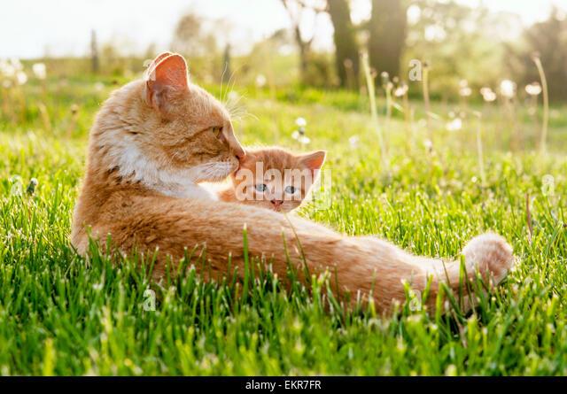 Momma cat peeking kitten - Stock Image