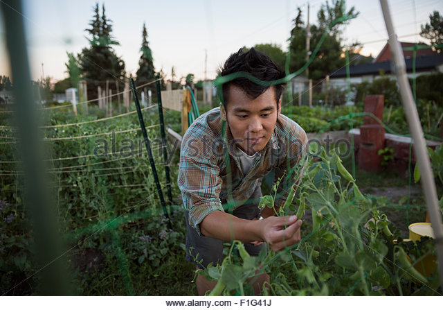 Man examining snap peas growing in vegetable garden - Stock Image