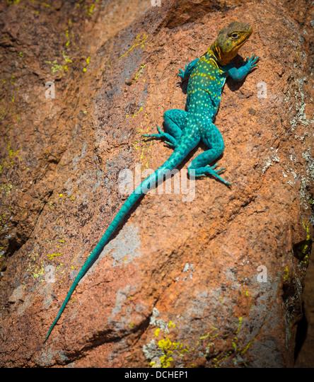 Collared lizard in Wichita Mountains National Wildlife Refuge in Lawton, Oklahoma - Stock-Bilder