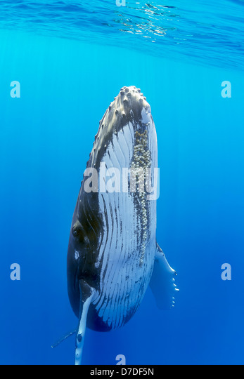Humpback Whale, Megaptera novaeangliae, Hawaii, USA - Stock Image