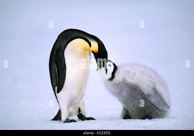 Emperor penguin feeding chick Amanda Bay Rookery Antarctica - Stock Image